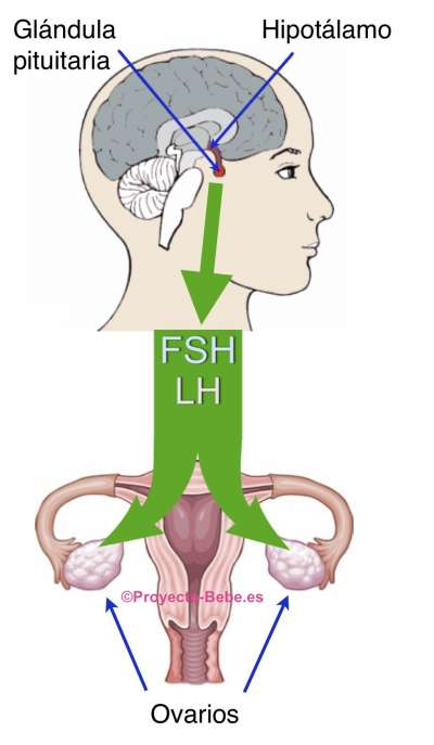 Hormona foliculoestimulante funcion en la mujer